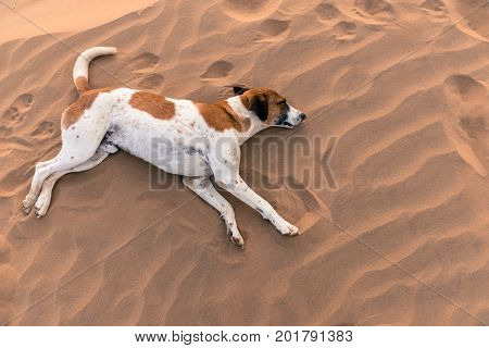 From top picture of wild dog sleeping in Thar Desert located close to Jaisalmer the Golden City in India.