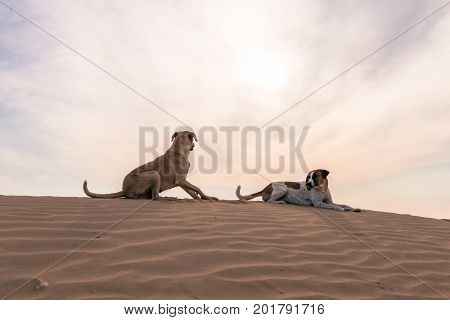 Upward picture of wild dogs resting in Thar Desert located close to Jaisalmer the Golden City in India.