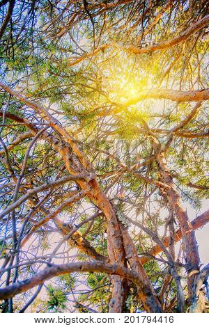 Intertwining Of Trunks And Branches Of Pine