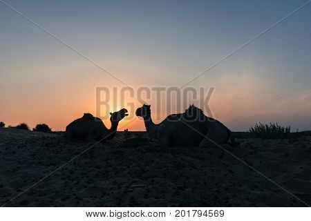 Horizontal picture of two camels silhouette during sunset time in Thar Desert located close to Jaisalmer the Golden City in India.