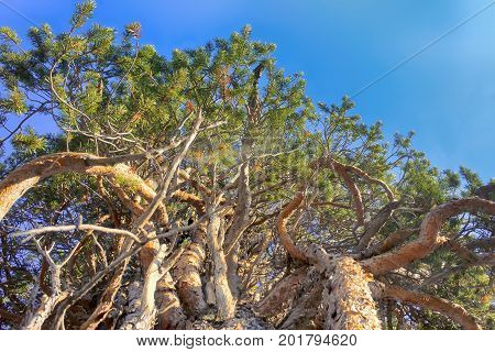 Unusual Pine, Dense Plexus Of Branches