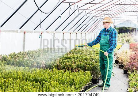 Senior gardener watering plants using a hose in a greenhouse.