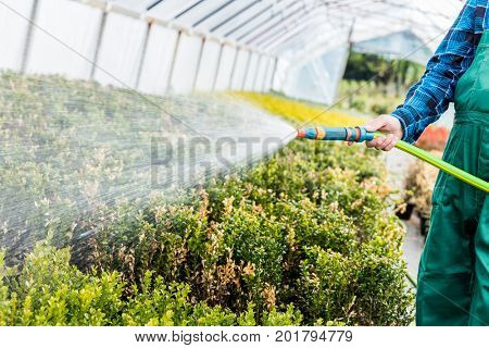 Gardener watering plants using a hose in a greenhouse. Gardening business