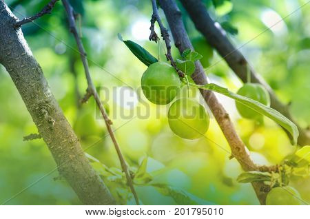 Green Plums On Tree.