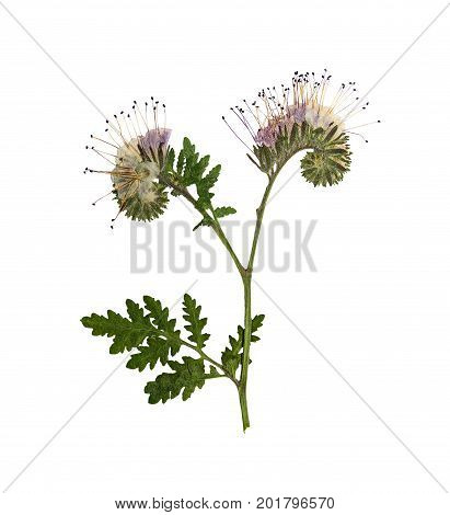 Pressed and dried flower phacelia. Isolated on white background. For use in scrapbooking floristry (oshibana) or herbarium.