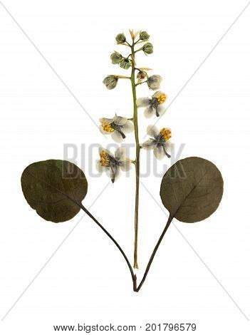 Pressed and dried flowers pyrola with leaf pear isolated on white background. For use in scrapbooking floristry (oshibana) or herbarium.