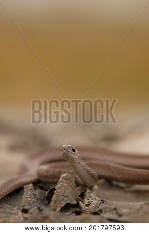 This small harmless brown snake is commonly found after rains.