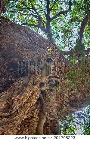 Bunch Of Monkeys (langur) Got The Branchy Tree