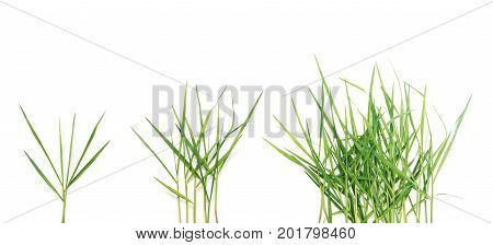 Set of long blades of green grass over white background.