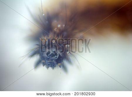 Woolly Bear Caterpillar Buff Tiger Moth
