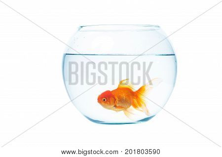 Gold Fish With Fishbowl On The White Background