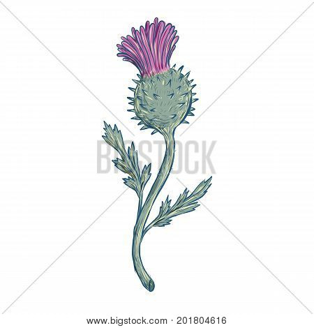 Drawing sketch style illustration of Scottish Thistle a flowering plant with sharp prickles in the family Asteraceae on isolated background.