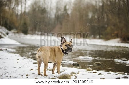 French Bulldog outdoor portrait standing by river in winter snow