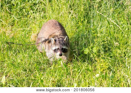 A Tame Racoon With A Leading Reins.