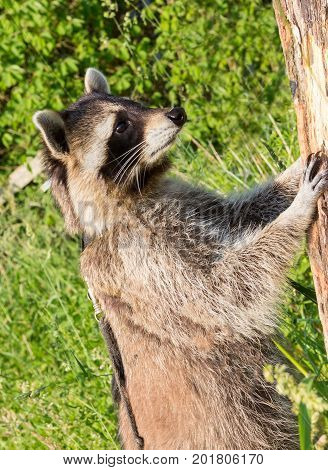 A Nosier Racoon Standing Upright At A Tree.