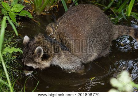 A Leashed Racoon Sniffles In Water.