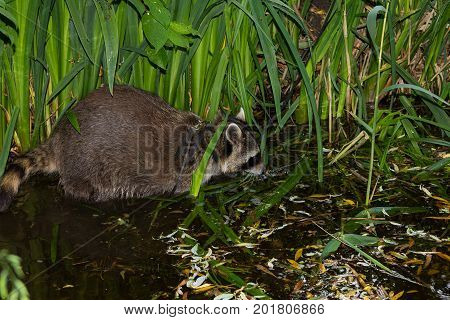 A Tame Racoon Has Fun In The Water.