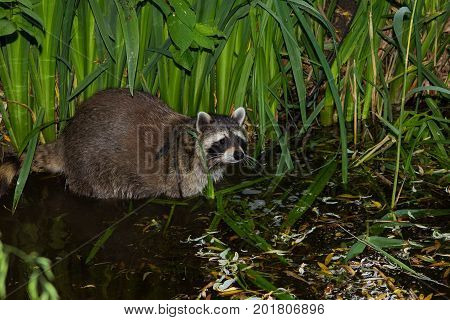 A Racoon In The Water.