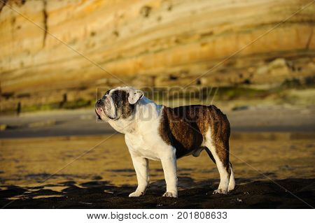 English Bulldog standing on beach with bluffs