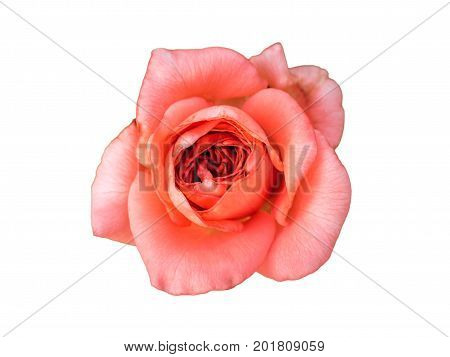 Pink rose bud. Macro, close-up flower isolated on white background. Neatly carved rose bud, without a shadow.