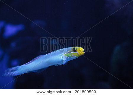 Sleeper Gold Head Goby Fish Valenciennea Strigata