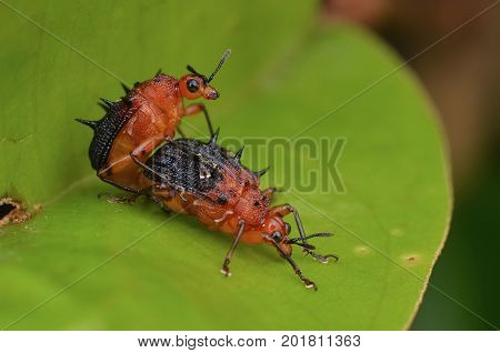 image of a spiny leaf rolling weevils mating on green leaf