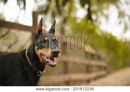 Doberman PInscher dog portrait along fenced path