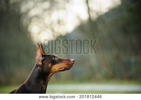 Red and tan Doberman PInscher dog portrait