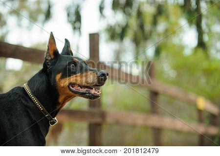 Black and tan Doberman PInscher dog portrait
