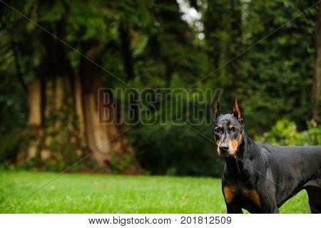 Doberman PInscher dog standing by big forest