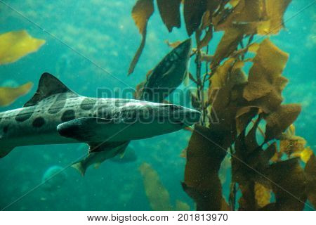 Leopard Shark Triakis Semifasciata Is A Species Of Carpet Shark