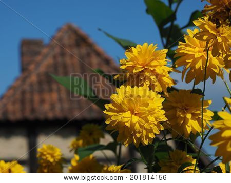 Beautiful yellow summer flowers infront of an old German half-timbered house