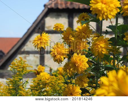 Beautiful yellow summer flowers infront of an old half-timbered house in Germany
