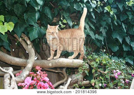 A Tabby cat stands on a thick branch of a vine looking intently at something nearby. His tail is standing upright. Flowers bloom below the cat.