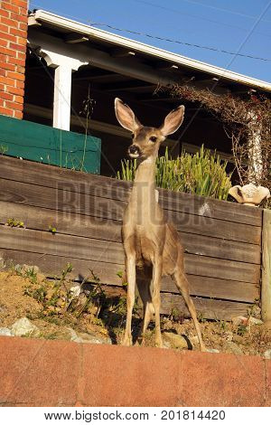 A young Mule deer standing near a house with its ears picked up on the alert.