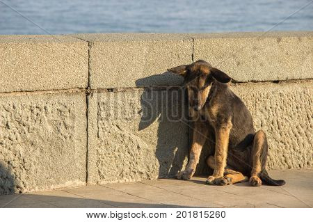 A sad stray dog is dirty brown color sitting alone with his head down on the waterfront in the summer