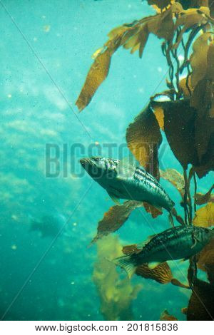 Mojarra grunt Haemulon scudderii found among the giant kelp Macrocystis pyrifera forests of California and Baja.