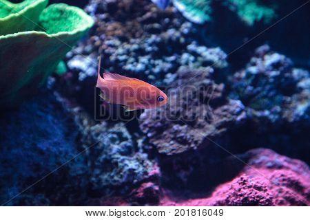 Lyretail Anthias Fish Known As Pseudanthias Squamipinnis