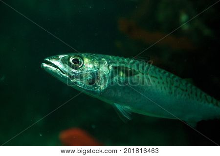 Pacific sardine fish Sardinops sagax swims among giant kelp Macrocystis pyrifera in Southern California