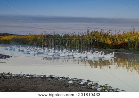 Flock of white geese swimming on the river early in the morning in the countryside in summer