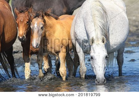 White Mother horse and two brown foals on the watering place