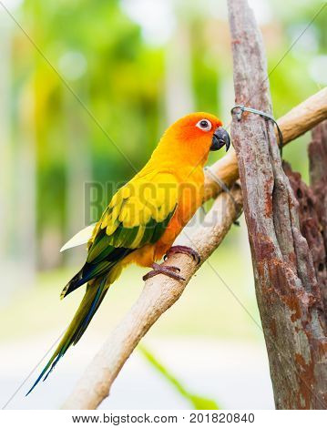 Sun Parakeet or Sun Conure the beautiful yellow and orange parrot bird with nice feathers details.