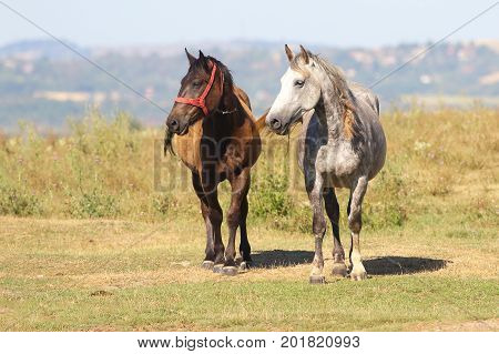 Two horses black and brown on the meadow