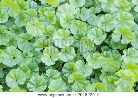 Background of a lawn with leaves of the dwarf mallow