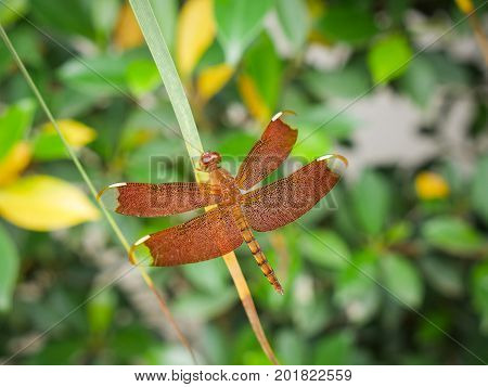 Red Grasshawk dragonfly (Neurothemis fluctuans) also known as Common Parasol is a dragonfly in the family Libellulidae. It is widespread in many Asian countries. poster