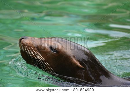 Adorable Sea Lion Poking Out of the Water