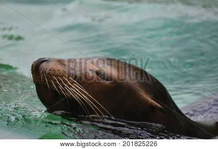 Adorable Brown Sea Lion Swimming in Water