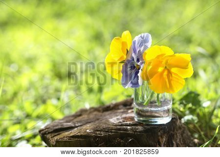 Pansies in a glass against the background of a green grass. Yellow and blue pansies on the foozle a close up selective focus