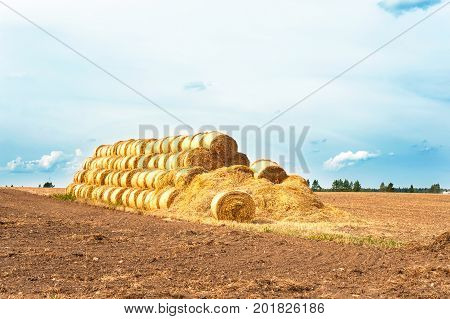 Many yellow straw bales/rolls on stubble field after harvesting. Harvest time scenery. Sunlight outdoors.