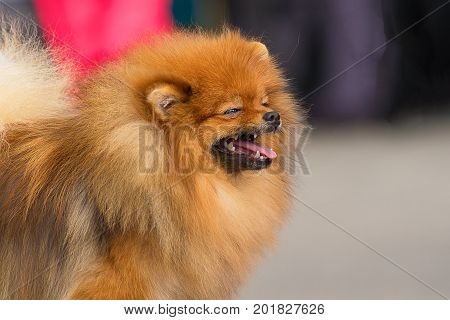 Laughing dog with squinted eyes and open mouth. Spitz is a decorative breed of dogs. Runs on the green grass, well lit by the sun. Space under the text. 2018 year of the dog in the eastern calendar Concept: parodist dogs, dog friend of man, true friends,